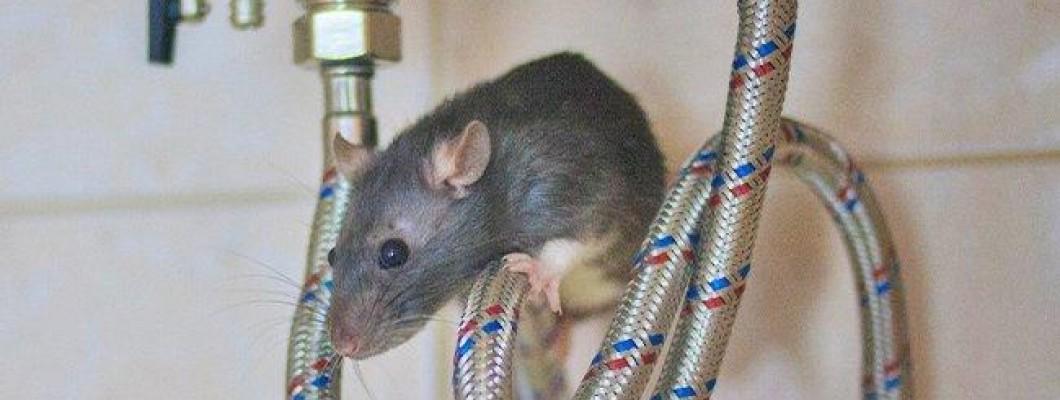 Cum să evitați infestarea cu șoareci sau șobolani